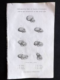 Cuvier C1830 Antique Print. Comparative View of Crania of Monkeys. Skulls of Apes
